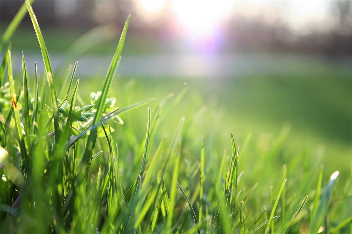 Hoe herstel je geel gras?